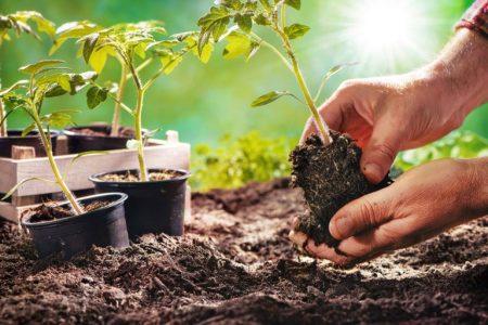 Farmer planting tomatoes seedling in organic garden - stock photo