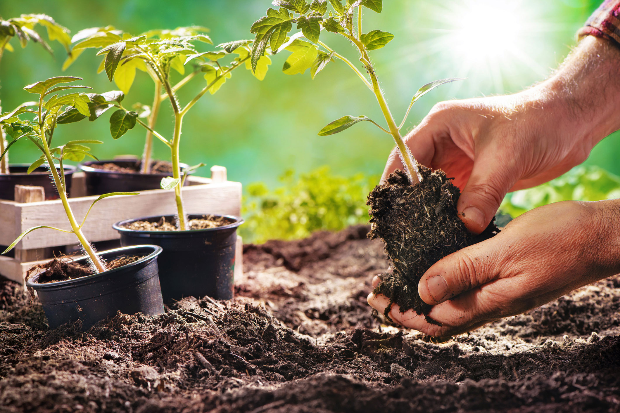 Farmer planting tomatoes seedling in organic garden - stock photo
