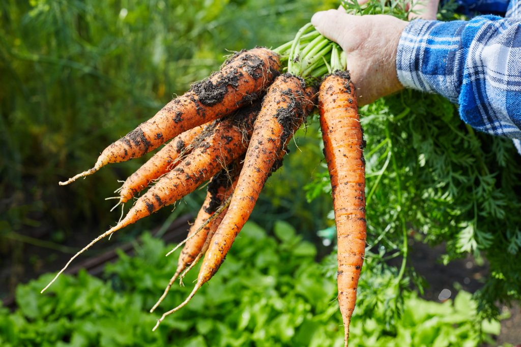 Bunch of organic vitamin carrot holding in hand