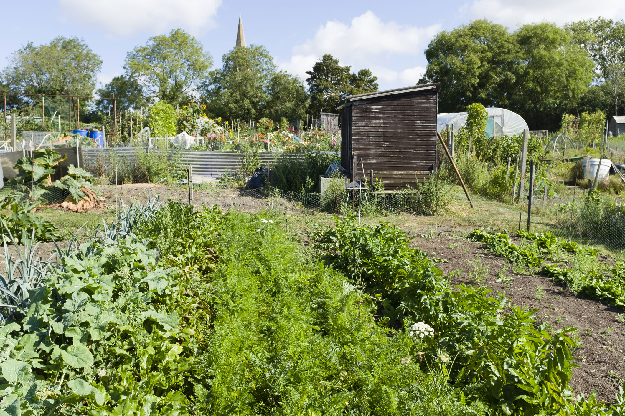 Growing vegetables in allotments, community gardens