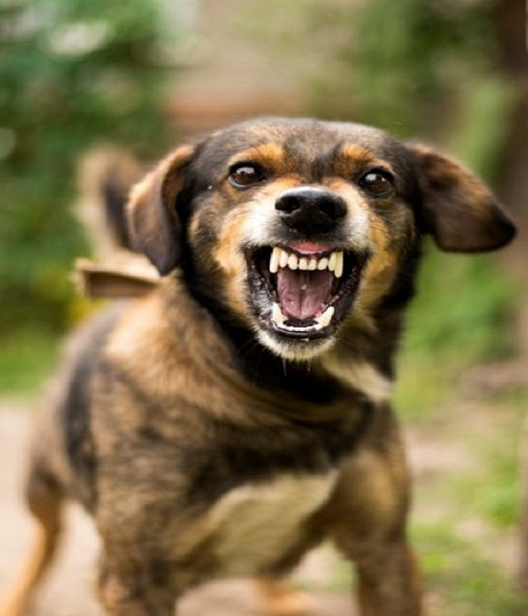 picture of angry, growling dog