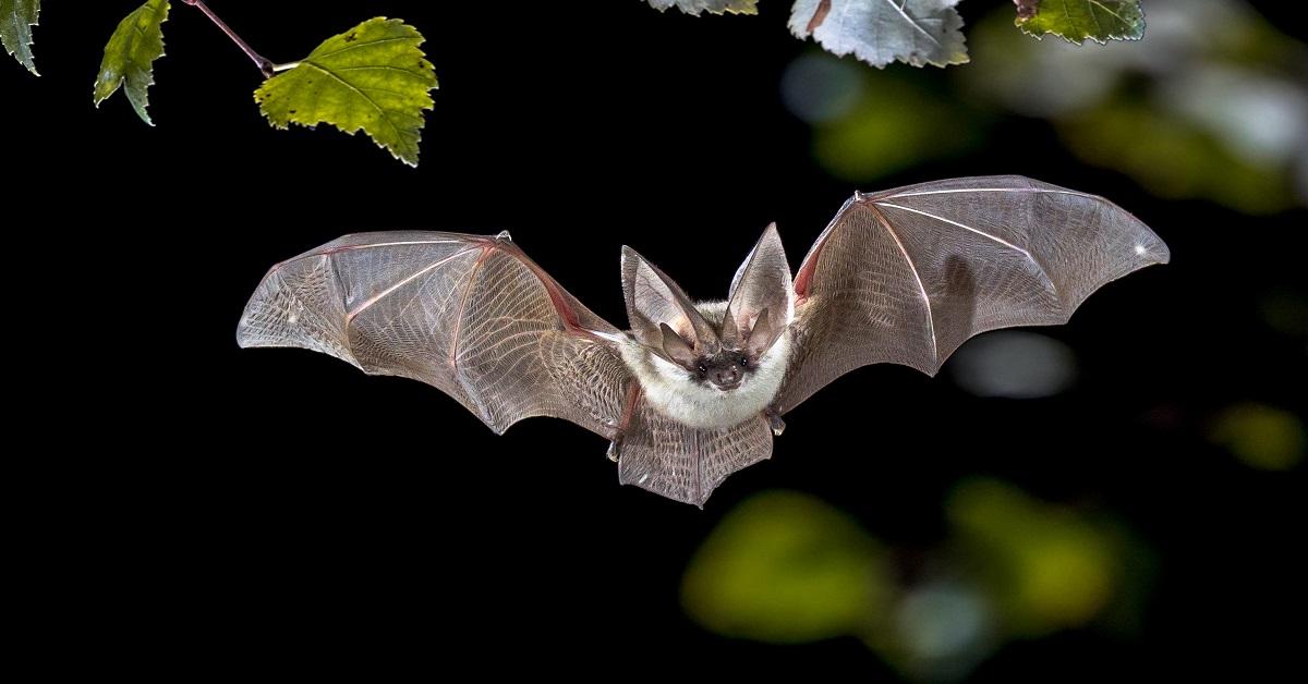 Grey long-eared bat in flight